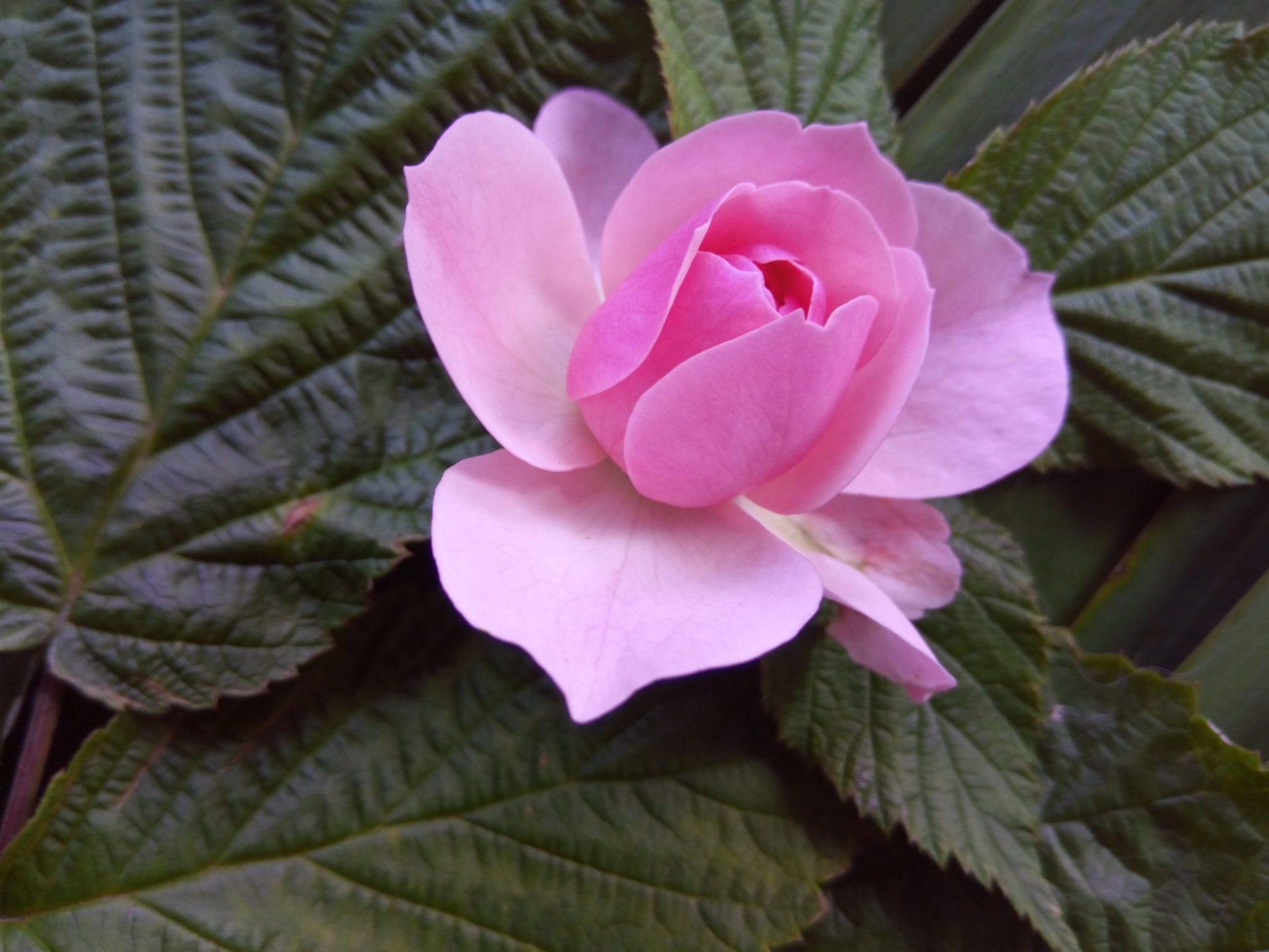 Масло из лепестков розы