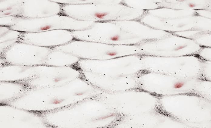 снежные водоросли
