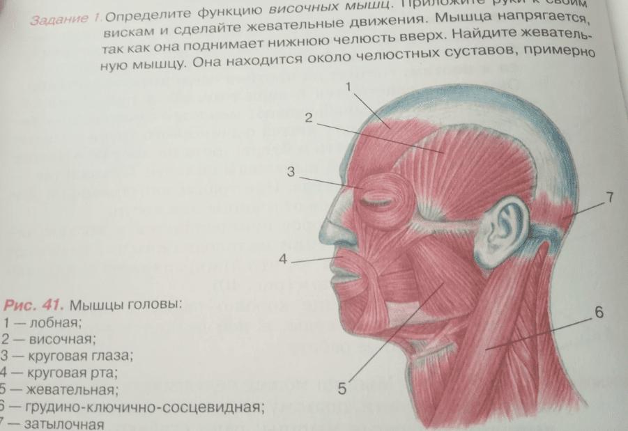схема мышц лица