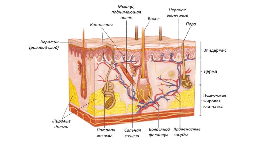 Строение кожи, липосомы